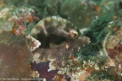 BD-160101-Malapasqua-1783-Paramonacanthus-japonicus-(Tilesius.-1809)-[Hairfinned-leatherjacket].jpg